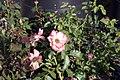 Rosa Betty Boop 7zz.jpg
