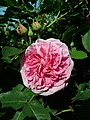 Rosa Gertrude Jekyll 2019-06-04 6177.jpg