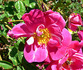 Rosa William Baffin 1.jpg