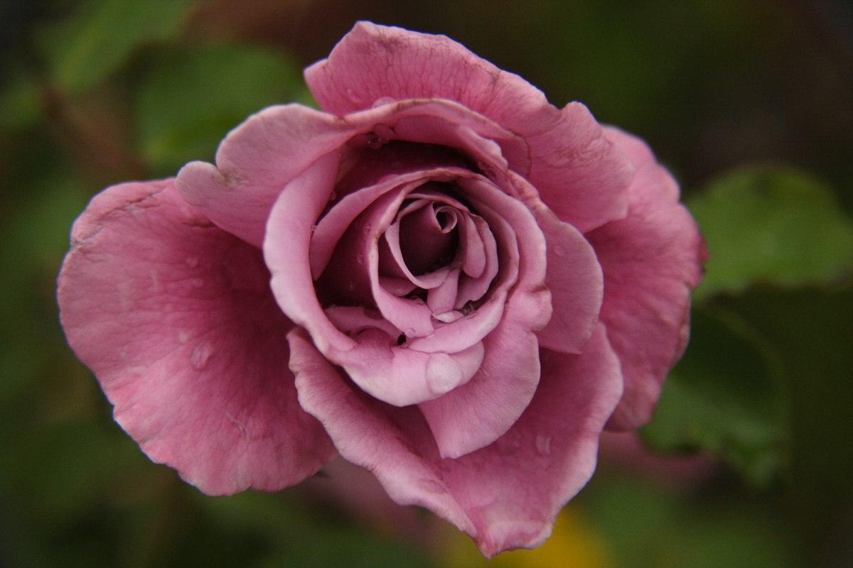 Rosa wikipedia la enciclopedia libre - Como secar una rosa ...