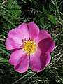Rosa gallica sl32.jpg