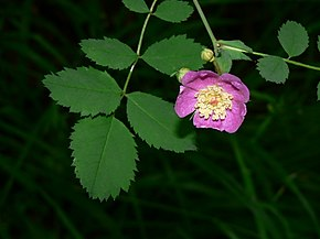 Description de l'image Rosa gymnocarpa 15142.JPG.