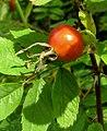 Rosa majalis fruit (08).jpg