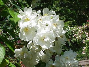 Klettergerüst Rosen : Rambler rose u2013 wikipedia