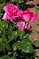 Rosarium Baden Rosa 'Caprice de Meilland' Meilland 1999 03.jpg