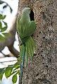 Rose-ringed Parakeet (Psittacula krameri) at nest in Narshapur, AP W IMG 0741.jpg