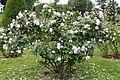 Rose Fantin Latour 20070601.jpg