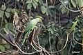 Rose ringed parakeet.jpg