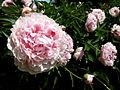 Rose sauvage 04.JPG