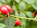 Rosehips and water droplets (9764426273).jpg