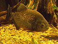 Roter Piranha (Pygocentrus nattereri) (Zoo Dresden).JPG