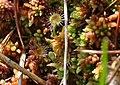Roundleaf Sundew (Drosera rotundifolia) (5109138618).jpg