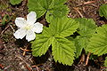 Rubus lasiococcus 0581.JPG