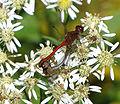 Ruby Meadowhawks mating, Ottawa.jpg
