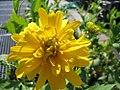 Rudbeckia lacimata Goldquelle 1zz.jpg