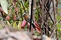 Rufous-breasted Chat-tyrant (Ochthoeca rufipectoralis) (4857045688).jpg