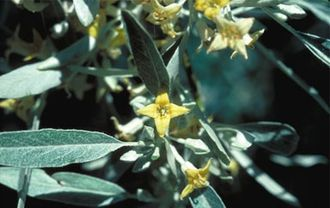 Elaeagnus angustifolia - Image: Russian Olive