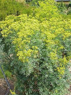 para que sirve la sabila como planta medicinal wikipedia