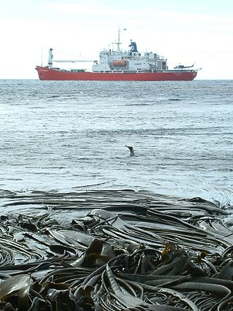 Prince Edward Islands - View from Marion island of the South African icebreaker SA Agulhas, with a penguin swimming in the water and kelp on the shore