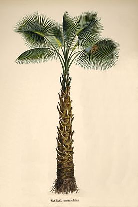 Sabal palmetto00.jpg