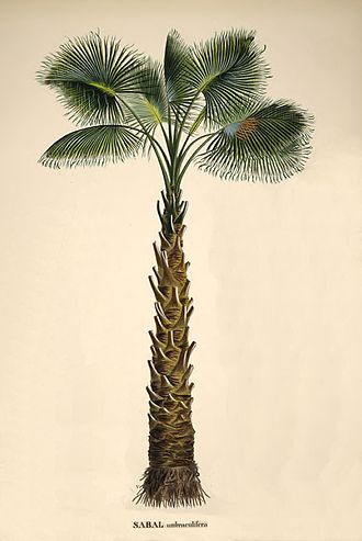 "Sabal palmetto - Sabal palmetto from von Martius' ""Historia naturalis palmarum"""