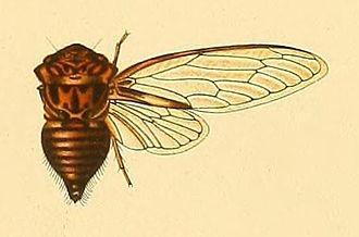 Sadaka (genus) - Sadaka hyalina, female