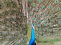 Safari Park Karachi (Beautiful Peacock) - panoramio.jpg