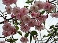 Saint Petersburg. Chinese Garden. Sakura tree2017 02.jpg