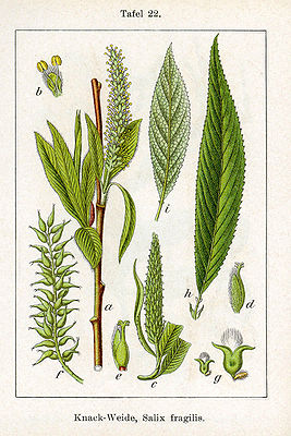 Bruch-Weide (Salix fragilis), Illustration