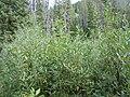 Salix lemmonii (5027508048).jpg