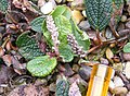 Salix reticulata - Seed Head.JPG