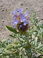 Salvia dorrii-6-12-04.jpg