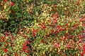 Salvia gesneriiflora, Christchurch Botanic Gardens, Canterbury, New Zealand 04.jpg