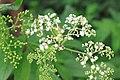 Sambucus chinensis in Wuyishan Chengcun 2012.08.24 08-30-24.jpg
