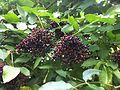 Sambucus nigra fruit 4.JPG