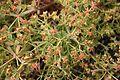 San Bartolomé - LZ30 - El Grifo - Euphorbia segetalis 06 ies.jpg