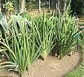 Sansevieria - Arusha botanical gardens (2).jpg