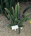 Sansevieria hallii - Botanischer Garten - Heidelberg, Germany - DSC01344.jpg