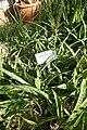 Sansevieria parva-Jardin botanique de Berlin (3).jpg