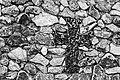 Santorin (GR), Kallistis, Kloster Profítis Ilías -- 2017 -- 2894 (bw).jpg