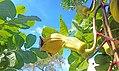 Sausage tree flower green 01B.jpg
