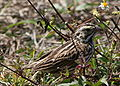 Savannah Sparrow (1).jpg
