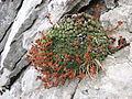 Saxifraga aretioides, J. Garmendia.jpg