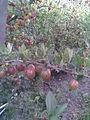 Saxifragales - Ribes uva-crispa 4 - 2011.07.17.jpg