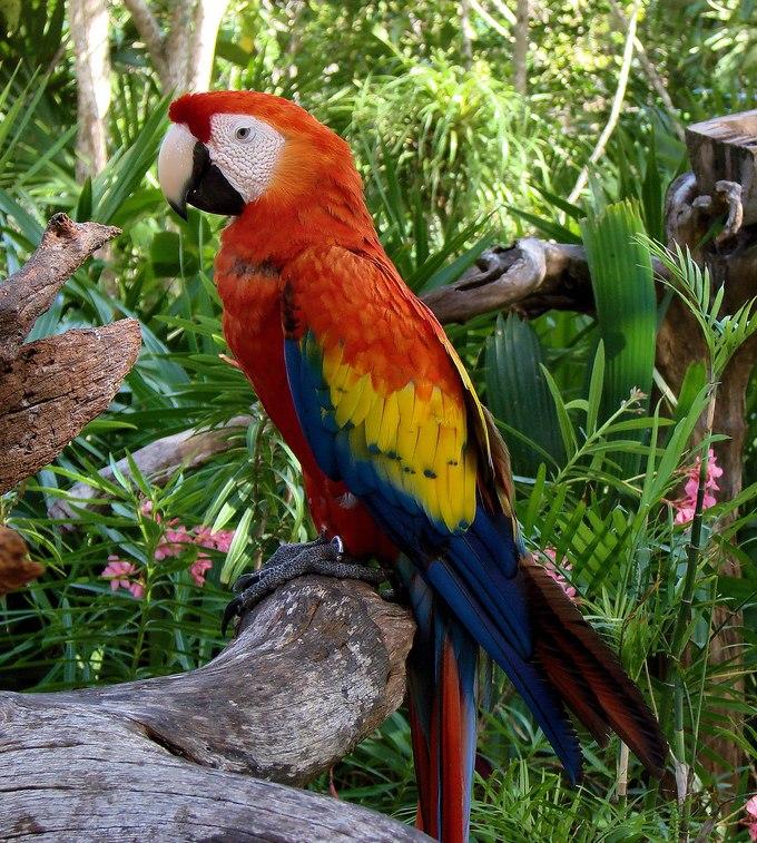 Scarlet Macaw (Ara macao) -Coco Reef -Mexico-6-2c