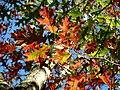 Scarlet Oak (30837095086).jpg