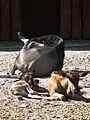 Schlafende Südliche Streifengnu Zoo Landau Juni 2011.JPG