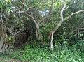 Scrub forests on Lovapalem hillock 01.JPG
