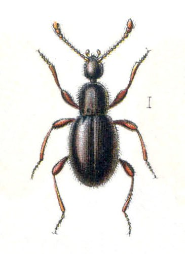 Scydmaenus tersatus