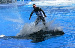 "SeaWorld - Trainer ""surfing"" on top of Katina, a killer whale at SeaWorld Orlando."